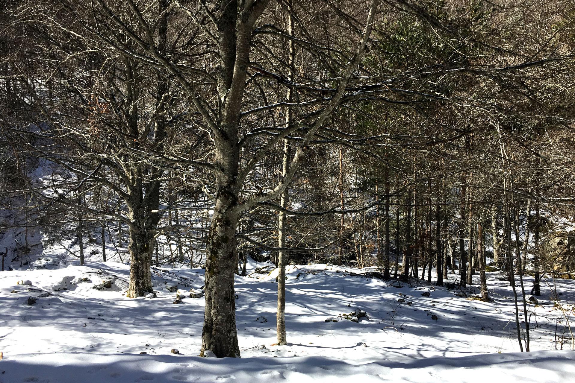 Bosque nevado de sierra cebollera