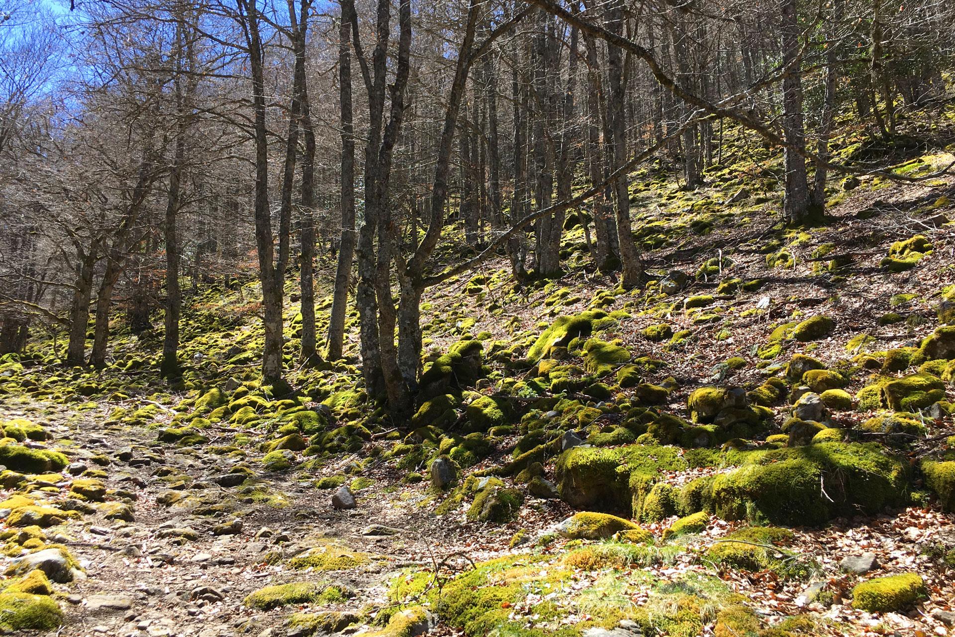Bosque de sierra cebollera